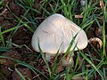 Fungi in Crop Field - geograph.org.uk - 607316.jpg