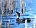 Gadwall Drake on Seeskadee National Wildlife Refuge (22152844928).jpg