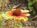 Gaillardia aristata0.jpg