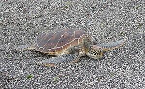 Galápagos green turtle - Galápagos green turtle preparing to lay eggs
