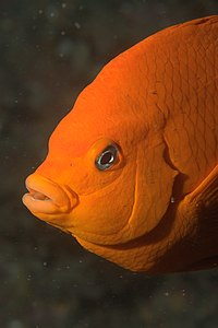 Garibaldi fish closeup