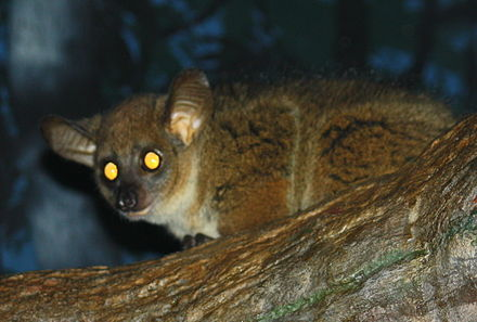 The tapetum lucidum of a northern greater galago, typical of prosimians, reflects the light of the photographers flash GarnettsGalago CincinnatiZoo.jpg