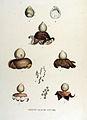 Geaster vulgatus — Flora Batava — Volume v15.jpg