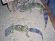 Geckos léopards adultes.jpg