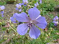 Geranium pratense 'Meadow Cranesbill' (Geraniaceae) flower.JPG
