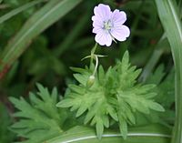 Geranium yesoense Ibukifuuro in Ibukiyama 2010-7-10.JPG