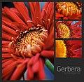 Gerbera (2664555869).jpg