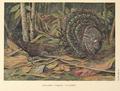 Germain's Peacock Pheasant by Louis Agassiz Fuertes.png