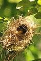 Gerygone sulphurea at nest.JPG