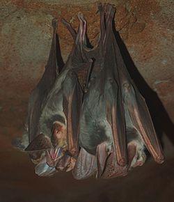 Des chauves-souris fantômes, suspendues au plafond d'une grotte, en Australie