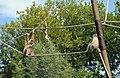 Gibbon aux mains blanches (Zoo Amiens)b.JPG