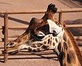 Giraffe 5 (3309857068).jpg