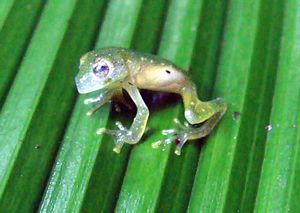 Glass frog - Image: Glass frog 2