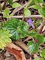 Glechoma hederacea 120812670.jpg