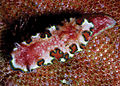 Glossodoris cincta, Steginoporella.jpg