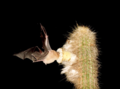Glossophaga soricina em Pilosocereus chrysostele EARMLucena2007.png