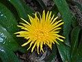 Glottiphyllum longum 2017-05-31 2162.jpg