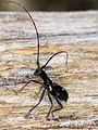 Gnoma affinis BOISDUVAL (Cerambycidae).jpg