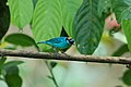 Golden-naped Tanager 2015-06-07 (13) (39606127674).jpg