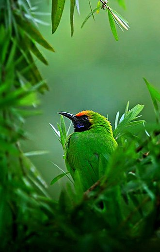 Chapramari Wildlife Sanctuary - Image: Golden fronted leafbird
