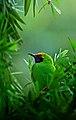 Golden fronted leafbird.jpeg