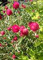 Gomphrena Forest Pink kz1.jpg