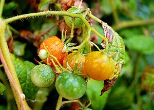 Grape tomatoes on vine