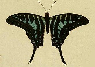 Graphium policenes - Image: Graphium policenes