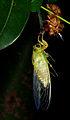 Graptopsaltria nigrofuscata emergence 23aug12.jpg