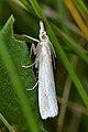 Grass-veneer (Crambinae ) - Guelph, Ontario.jpg