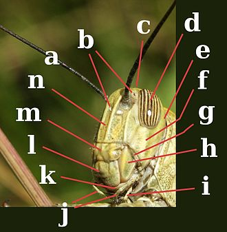 Insect morphology - Head of Orthoptera, Acrididae. a:antenna; b:ocelli; c:vertex; d:compound eye; e:occiput; f:gena; g:pleurostoma; h:mandible; i:labial palp; j:maxillary palps; k:maxilla; l:labrum; m:clypeus; n:frons