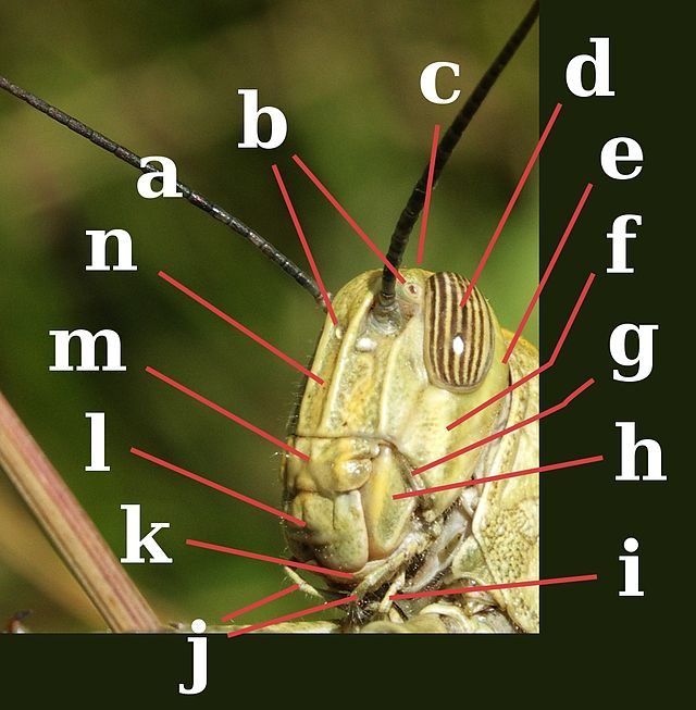 Morfología de los insectos - Wikiwand