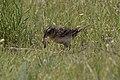 Grasshopper Sparrow (with food) Pawnee National Grasslands CO 2018-06-08 11-03-40-3 (47069901544).jpg