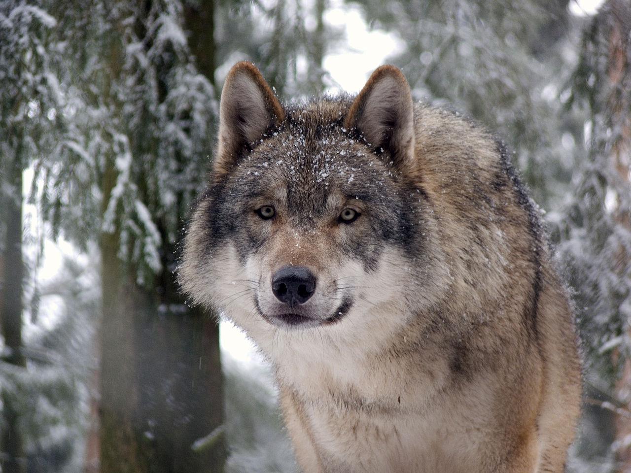 Grauwolf P1130280.jpg