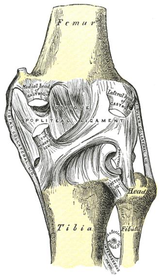 Oblique popliteal ligament - Right knee-joint. Posterior view. (Oblique popliteal ligament visible at center.)