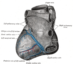 Great cardiac vein - Base and diaphragmatic surface of heart. (Great cardiac vein labeled at center left.)