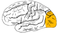 Gray726 lateral occipital gyrus.png
