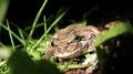 Gray treefrog (5880846000).png