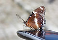Great Eggfly (Hypolimnas bolina) on the back of a Suzuki Skywave.jpg