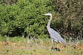 Great blue heron (23101718716).jpg
