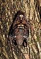 Greater Death's Head Hawk Moth Acherontia lachesis DSCN8877 (10).jpg