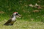 Green Woodpecker (34520083054).jpg