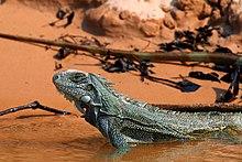 Green iguana (Iguana iguana).JPG