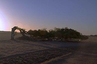 Greenough, Western Australia - Leaning tree, Greenough
