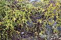 Grevillea pilosa - UC Santa Cruz Arboretum - DSC07478.JPG