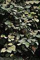 Grewia asiatica - Murshidabad 2014-11-29 0189.JPG
