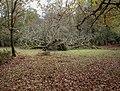 Gritnam Oak, fallen oak - geograph.org.uk - 1570926.jpg