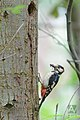 Grote bonte specht - Great spotted woodpecker (18050727146).jpg