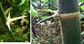 Guadua sp., thorns (11274577163).jpg