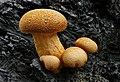 Gymnopilus junonius. (51155468560).jpg